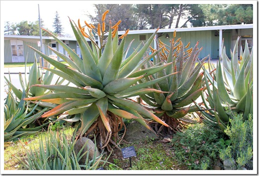 130202_UCDavis_Aloe-ferox_03