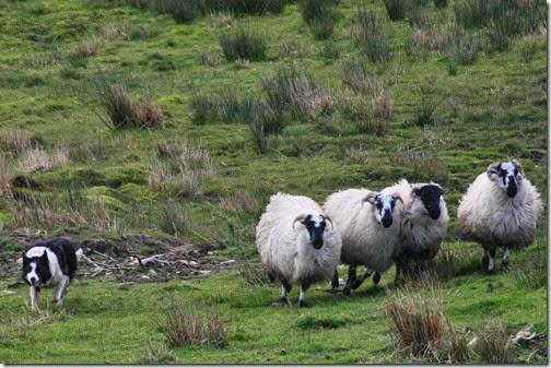 sheepdog-tour-ring-of-kerry-ireland