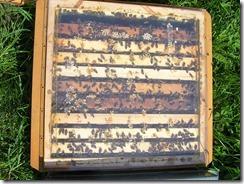 včelky a med květen 002