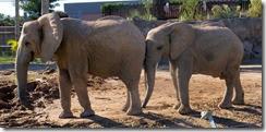 Elephant buddies 1-28-2014 1-40-00 PM 3111x1522