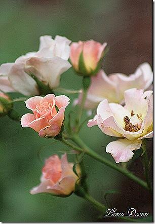 Bonica_Rose