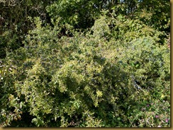 Blackthorn or Sloe, Prunus spinosa