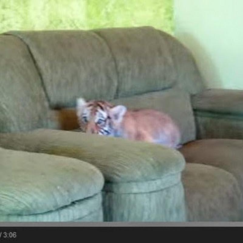 Μωρό τίγρης παίζει με ένα  σκυλί