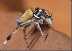 Amazing Pictures of Animals, photo, Nature ,exotic, funny, incredibel, Zoo, Maratus volans,  Peacock spider or Gliding spider, Alex (25)