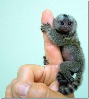 monyet-paling-kecil-1