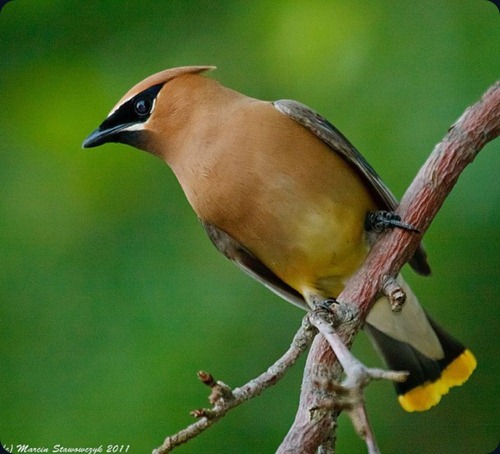 Amazing Beauty of Waxwing Birds8