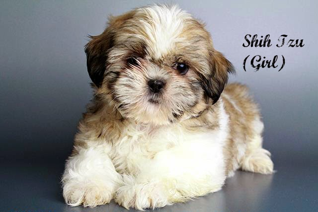 puppies for sale san diego shih tzu for sale