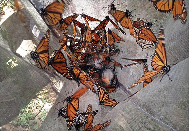 In this photo taken 15 February 2013, Monarch butterflies are collected in a net to be tested for the ophroyocystis elektroscirrha parasite that inhibits their flight, at El Capulin reserve, near Zitacuaro, Mexico. The number of Monarch butterflies wintering in Mexico dropped 59 percent in 2013, falling to the lowest level since comparable record-keeping began 20 years earlier. Photo: Marjorie Miller / AP Photo