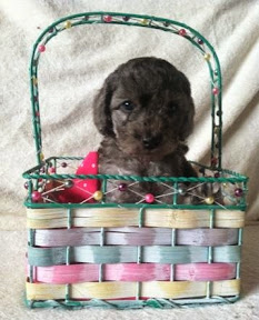 labradoodle puppy / female