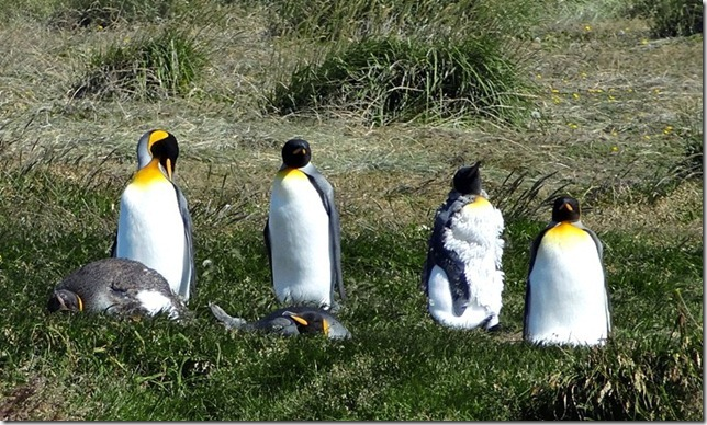 King_Penguins_DSC00996