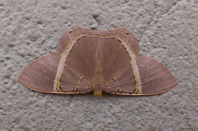Geometridae : Ennominae : Phrygionis incolorata (PROUT, 1910). Environs de Curitiba, Paraná. 22 mai 2013. Photo : Mauricio Skrock