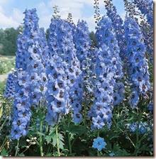 delphinium_blue_jay_2
