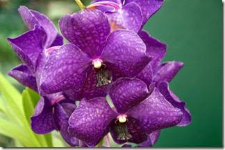 Festival de Orquídeas em Teresópolis 1