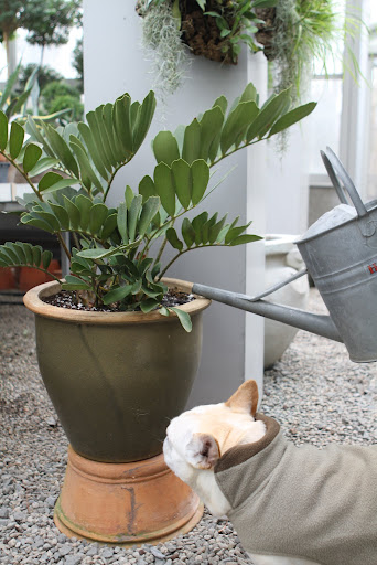 Let's start by giving this zamia a good watering.  Martha brought it back from Florida and it's a really neat plant.
