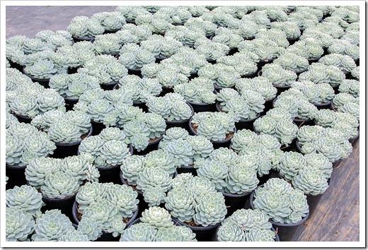 120928_SucculentGardens_Echeveria-secunda
