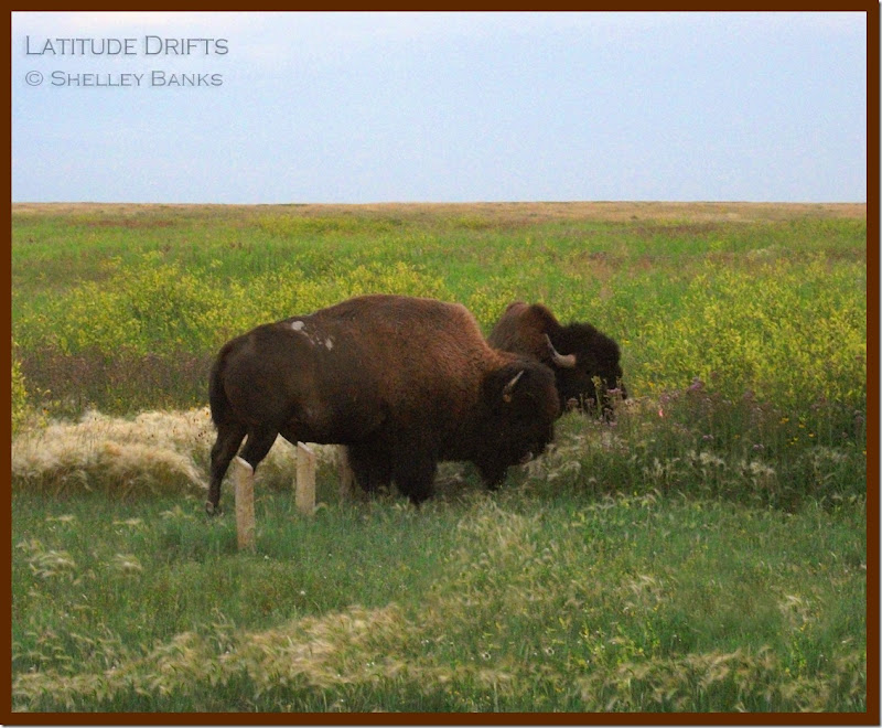 two bison at dusk - photo by Shelley Banks
