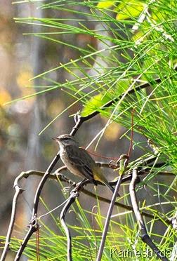 9. palm warbler-kab