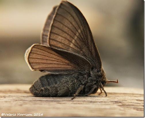 Fox-moth-2