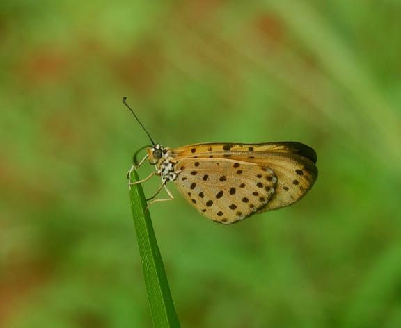 Acraea punctatissima BOISDUVAL, 1833. Réserve d'Ankarafantsika (50 km à l'est de Majunga), 210 m d'altitude, 9 février 2011. Photo : T. Laugier
