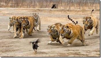 tigers_vs_turkey-003