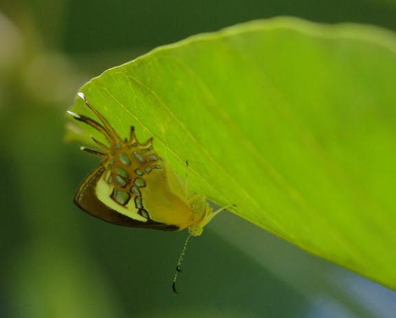 Helicopis cupido (LINNAEUS, 1758). Saut Athanase, 7 novembre 2012. Photo : J.-M. Gayman