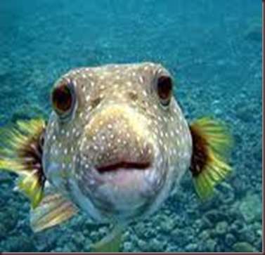 Amazing Pictures of Animals. Poison, Dangerous.10.Puffer Fish.Alex
