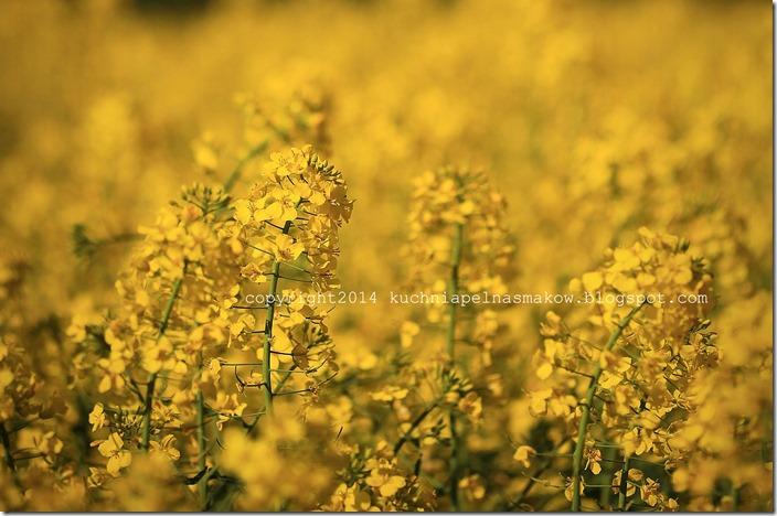 rzepakowe pola (16)