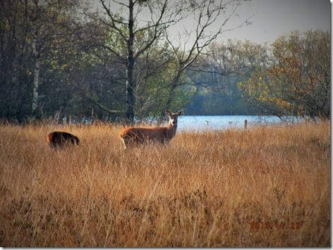 Red deer Chasewater 2013 (3)