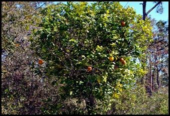 21 - Citrus Trees