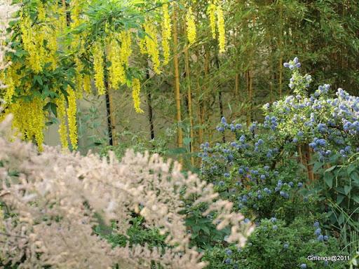 Tamaris rose - Laburnum (Cytise jaune) - Ceanothus (ceanothe bleu)