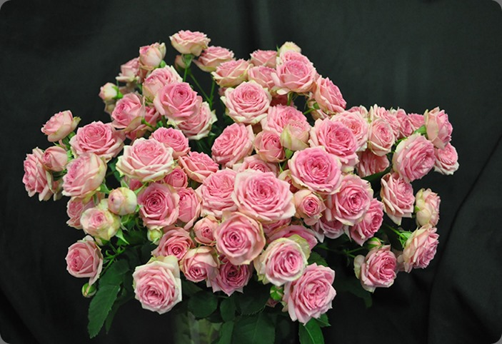 varieties  Super-Sensation-Spray-rose drammechter dot com