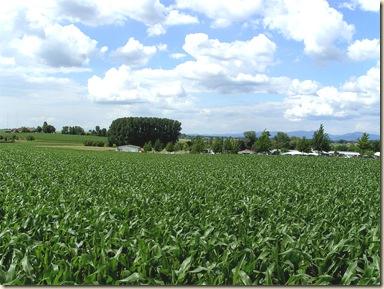 corn_field_landscape_full