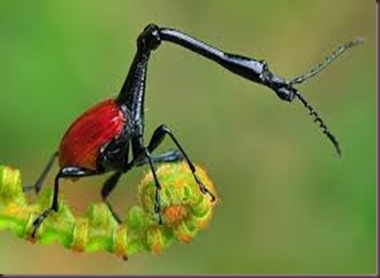 Amazing Pictures of Animals, photo, Nature, exotic, funny, incredibel, Zoo, Giraffe weevil, Insecta, Alex (17)