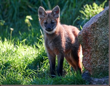 Amazing Animal Pictures The Maned Wolf (6)