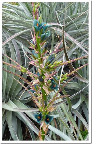 Puya-alpestris-(flower)_04