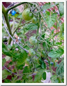 tomatogreen