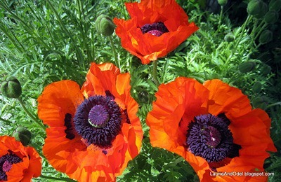 Poppies in Joseph, OR