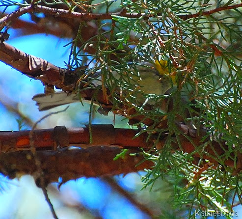 12. what warbler-kab