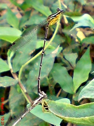 damselfly mating_capung jarum kawin 5