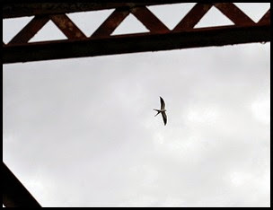 00g - Hiking - Swallow Tailed Kite