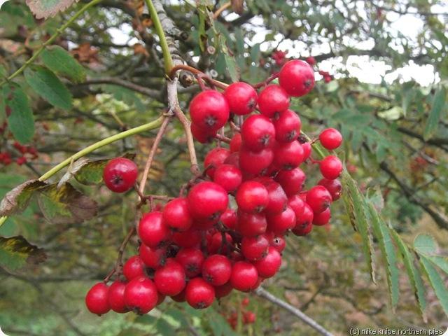rowan berries - it's autumn, see?