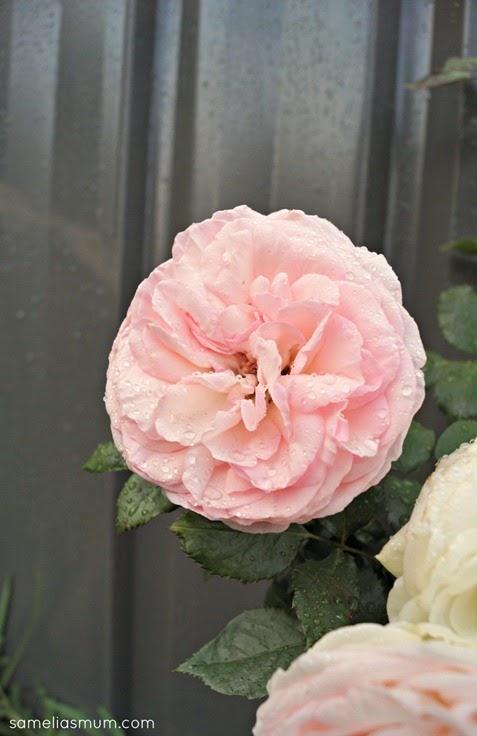 Pierre De Ronsard Rose 2