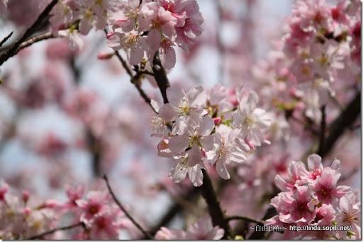 2010陽明山花季-吉野櫻近拍