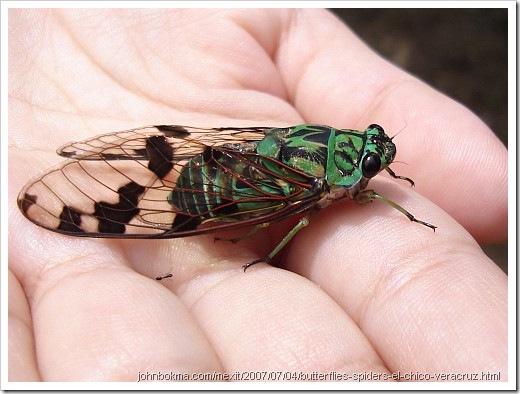 cicada_tonggeret