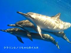 クラリンとノリちゃんのハワイ島のイルカ