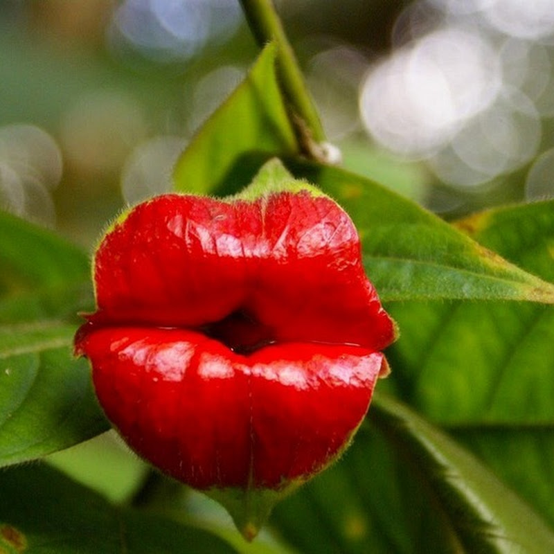 Psychotria Elata or Hooker's Lips: The Most Kissable Plant