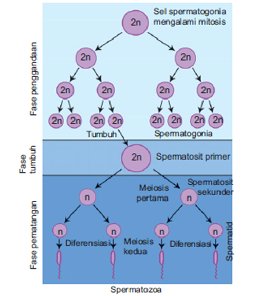 tahap - tahap spermatogenesis