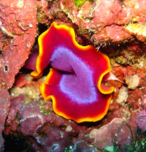 Amazing Pictures of Animals, Photo, Nature, Incredibel, Funny, Zoo, Pseudoceros ferrugineus, Fuchsia flatworm, flatworm, Alex (8)