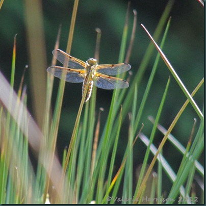 59-Four-spotted-chaser