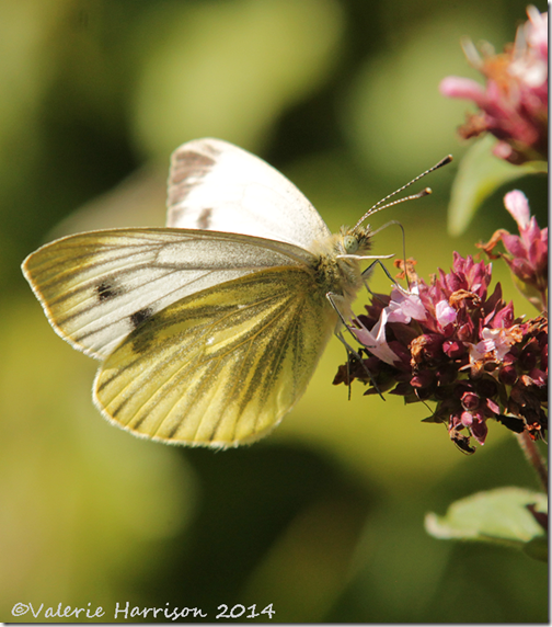 Green-veined-White-2
